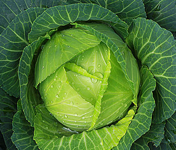 Cabbage plant covered in water droplets with thick leaves