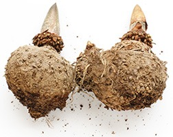 image of two roots of glucomannan konjac root plant