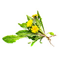 Dandelion Root Extract which is an active ingredient in carb no