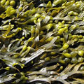Fucus Vesiculosus Extract also known by the name Bladderwrack which is a type of seaweed
