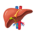 image of a liver to show that moringa can also help to restore liver enzymes to normal levels
