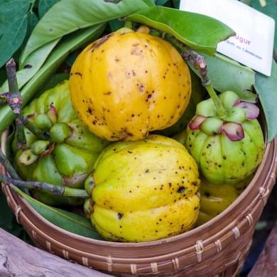 Basket full of garcina cambogia plants, appitite suppressant
