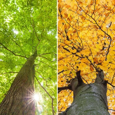image of a green tree in the sun and a brown autumn tree to show how mood affects hunger