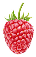 single Red Raspberry to explain what a raspberry ketone is
